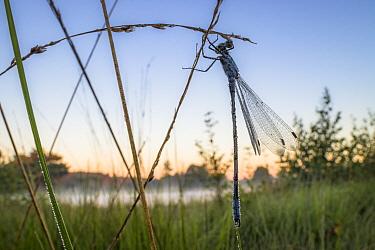 Emerald damselfly (Lestes sponsa)  before sunrise, Hondenven, Tubbergen, the Netherlands, July.