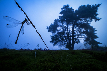Emerald damselfly (Lestes sponsa) in habitat in early morning twilight, Hondenven, Tubbergen, the Netherlands, August.