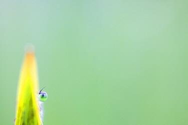 Emerald damselfly (Lestes sponsa) hiding behind a stem, Meinerswijk, Arnhem, the Netherlands, July.