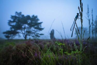 Emerald damselfly (Lestes sponsa) in habitat, at twilight,  Hondenven, Tubbergen, the Netherlands, August.