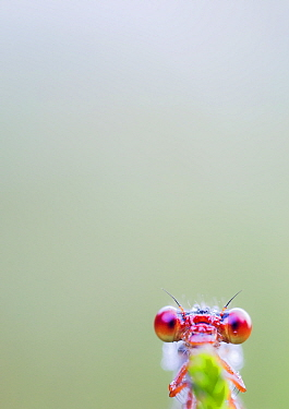 Small red damselfly (Ceriagrion tenellum) close up portrait, warming up in the early morning. De Hatertse Vennen Nature Reserve, near Nijmegen, the Netherlands, July.