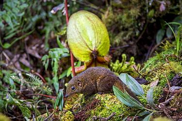 Mountain tree shrew (Tupaia montana) feeding on nectar secreted by the endemic Pitcher Plant (Nepenthes kinabaluensis) Montane forests (at 2200m-3000m), slopes of Mt Kinabalu. Kinabalu Park, Sabah, Bo...
