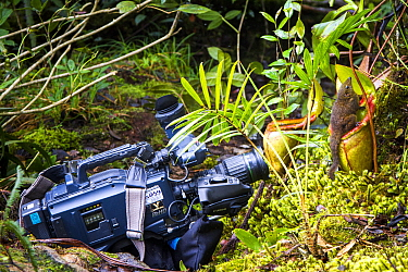 Filming a Mountain tree shrew (Tupaia montana) feeding on nectar secreted by the endemic Pitcher Plant (Nepenthes kinabaluensis) Montane forests (at 2200m-3000m), slopes of Mt Kinabalu. Kinabalu Park,...