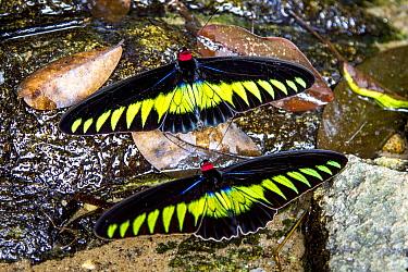 Raja Brookes Birdwing Butterfly (Trogonoptera brookiana), Borneo