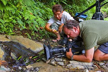 Filming a Raja Brookes Birdwing butterfly (Trogonoptera brookiana), Borneo