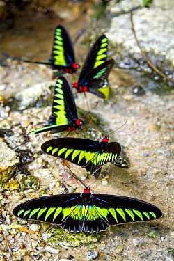 Raja Brookes Birdwing butterfly (Trogonoptera brookiana), Borneo. Small repro only