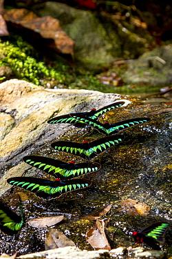 Raja Brookes Birdwing Butterflies (Trogonoptera brookiana) puddling,  Borneo