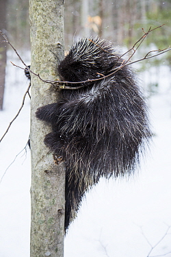 North American porcupine (Erethizon dorsatum),  climbing a tree in snow, Vermont, USA. (Habituated rescued individual returned to the wild)