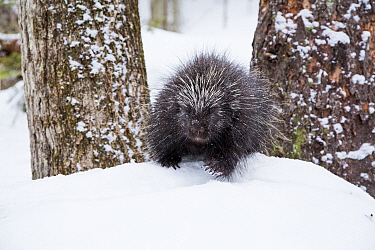 North American porcupine (Erethizon dorsatum) in snow, Vermont, USA. (Habituated rescued individual returned to the wild)