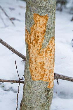 Bite marks on a tree caused by a North American porcupine (Erethizon dorsatum), Vermont, USA. (Habituated rescued individual returned to the wild)