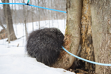 North American porcupine (Erethizon dorsatum) with a maple syrup tapping tube. These tubes are used to carry sap to large tanks. Porcupines have learned to bite the tubes so that they can drink the li...