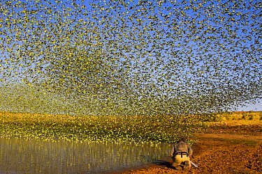 Cameraman Lyndsey Cupper filming for the BBC series Wonders of the Monsoon with flock of Budgerigars (Melopsittacus undulatus) flocking to find water, Northern Territory, Australia.
