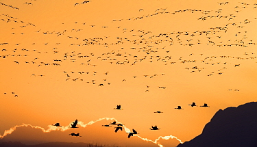 Sandhill cranes (Grus canadensis) flying in to land at sunset  in golden light, Bosque del Apache National Wildlife Refuge, New Mexico, USA, December.