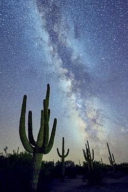 Saguaro (Carnegiea gigantea) cacti  at night with the Milky Way .  Desert National Monument, Arizona, USA, September.