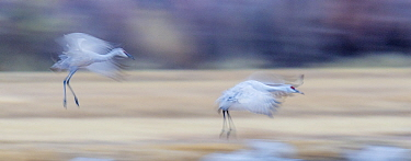 Sandhill cranes (Grus canadensis) landing at sunset, blurred motion, Bosque del Apache National Wildlife Refuge, New Mexico, USA.