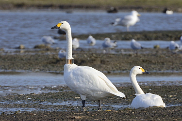 Bewick's swan (Cygnus columbianus) adult pair with one wearing a GPS logging neck collar for satellite tracking of migratory movements, WWT Slimbridge, Gloucestershire, UK, February.