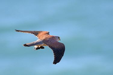 Kestrel (Falco tinnunculus) flying over sea with Short-tailed field vole (Microtus agrestis) prey, caught on coastal grassland, Cornwall, UK, April.