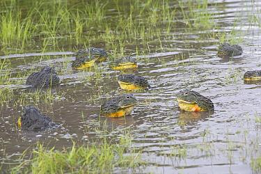 African giant bullfrog (Pyxicephalus adspersus) males calling in water, Central Kalahari Game Reserve. Botswana