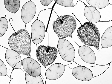 Chinese lanterns (Physalis alkekengi) skeletons and Honesty seed pods (Lunaria annua)