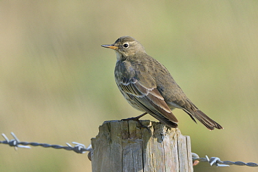 Rock pipit (Anthus petrosus) perched on a fence post in coastal farmland, Cornwall, UK, October.