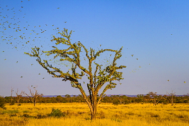 Budgerigars (Melopsittacus undulatus) flocking to find water, Northern Territory, Australia