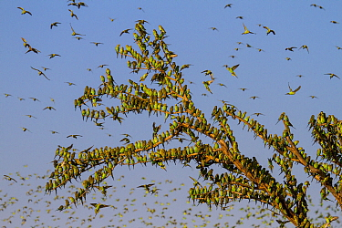 Budgerigars (Melopsittacus undulatus), flocking to find water, Summer, Northern Territory, Australia