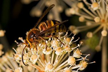 Male European Hornet, (Vespa crabro), on Japanese Aralia/False Castor Oil Plant (Fatsia japonica) garden, Herefordshire Plateau, England.