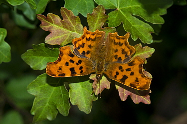 Comma butterfly (Polygonia c-album) basking on Field maple (Acer campestre) leaves, lane-side hedgerow, Worcestershire, England, UK, July.