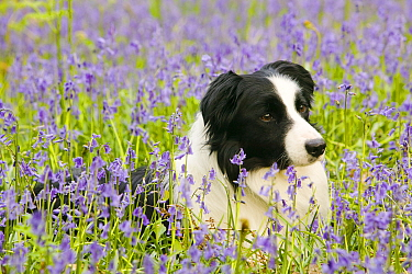 Border Collie dog lieing amongst bluebells in the Lake District, England, UK. May.