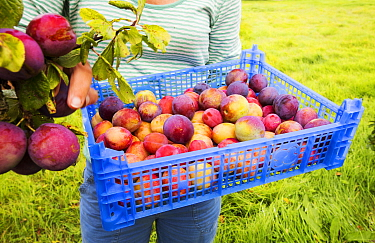 A woman picking Plums growing in an orchard near Pershore, Vale of Evesham, Worcestershire, UK. September 2013.
