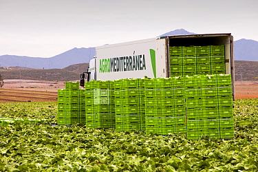 Lettuce crop harvest in a field near Sorbas, Southern Spain. May.