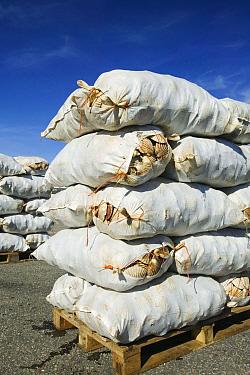Sacks of Scallops landed on Ullapool harbour, Scotland, UK, September.