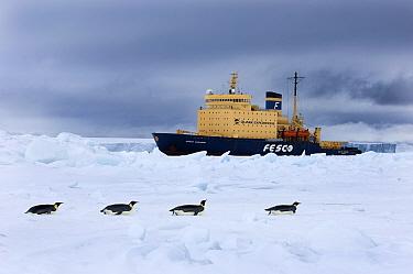 Emperor Penguins on sea ice with Kaptan Klebnikov ice breaker in background, Snow Hill Island, Antarctica, November