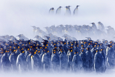 King Penguins (Aptenodytes patagonicus) group huddled together in blizzard, Right Whale Bay, South Georgia, November