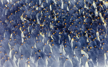 King Penguins (Aptenodytes patagonicus) group huddled together in storm, Right Whale Bay, South Georgia, November