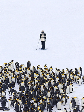 Tourist photographing King Penguins (Aptenodytes patagonicus) Fortuna Bay, South Georgia, November 2006. No release available.