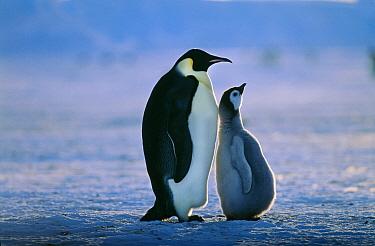 Emperor Penguin, (Aptenodytes forsteri) with chick, Weddell Sea, Antarctica, November