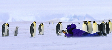 Person in purple coat photographing Emperor Penguins (Aptenodytes forsteri) at the Dawson-Lambton Glacier, Weddell Sea, Antarctica. No release available.
