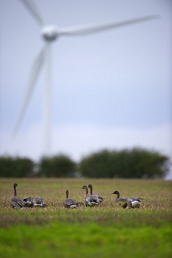Pink-footed Geese (Anser brachyrhynchus) with wind turbine in background, near Horsey, Norfolk, October