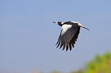 Australian Magpie (Gymnorhina tibicen) in flight, Queensland, Australia