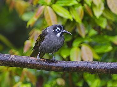 Belford's Honeyeater (Melidectes belfordi) perched, Kumul Lodge, Western Highlands, Papua New Guinea