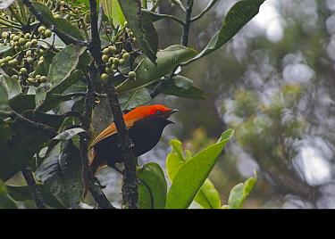 Crested Satinbird (Cnemophilus macgregorii) male calling in, fruiting tree, Kumul Lodge, Western Highlands, Papua New Guinea