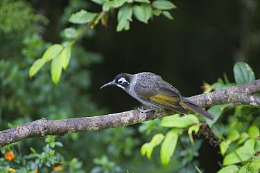 Belford's Honeyeater (Meledictes belfordi) perched on branch, Kumul Lodge, Western Highlands, Papua New Guinea