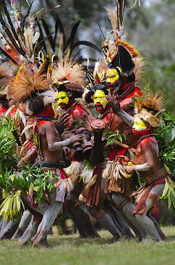 Huli Wigmen from the Tari Valley, in the Southern Highlands of Papua New Guinea, performing  at Sing-sing, Mount Hagen, Papua New Guinea. Wearing bird of paradise feathers and plumes particularly Ragg...