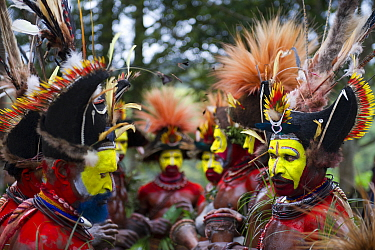 Huli Wigmen from the Tari Valley, Southern Highlands at a Sing-sing Mount Hagen, Papua New Guinea. Wearing bird of paradise feathers and plumes particularly Raggiana Bird of Paradise plumes. August 20...