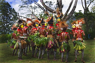 Huli Wigmen from the Tari Valley, Southern Highlands, performing at a Sing-sing Mount Hagen, Papua New Guinea. Wearing bird of paradise feathers and plumes particularly Raggiana Bird of Paradise plume...