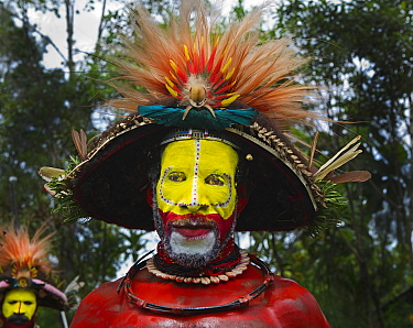 Huli Wigman from the Tari Valley, Southern Highlands at a Sing-sing, Mount Hagen, Papua New Guinea. Wearing bird of paradise feathers and plumes particularly Raggiana Bird of Paradise plumes  and brea...
