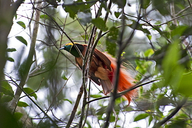 Raggiana Bird of Paradise (Paradisaea raggiana) male at lek, Varirata NP, Papua New Guinea August