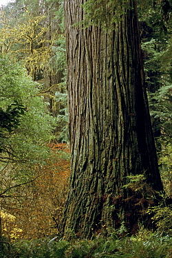 'Del Norte Giant', the largest (by mass) Giant Coast Redwood tree (Sequoia sempervirens) in the world. Jedediah Smith Redwoods State Park, California. Nov 2002.