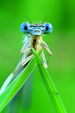 Close-up of a White-legged damselfly (Platycnemis pennipis) Meinerswijk, The Netherlands, June.